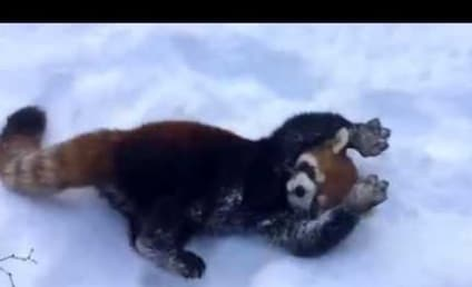 Red Pandas Play in Snow, Show Us True Meaning of Happiness