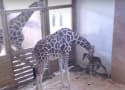 April the Giraffe FINALLY Gives Birth!!!
