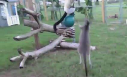 Kangaroo and Lemur Play Tag, Warm Hearts