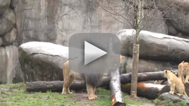 Lion Cubs Play with Father