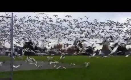 Geese Tsunami in Richmond, Canada